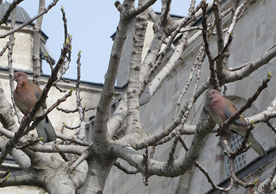 Blue Mosque doves, Istanbul