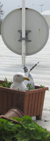 nesting seagull on a rooftop in Istanbul at The Cheshire Cat Blog