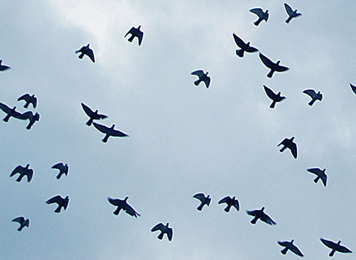 flock of flying pigeons, Istanbul