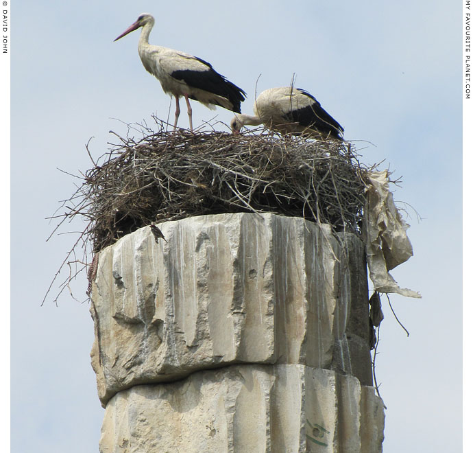 White storks nesting on a column of the Artemision in Ephesus, Selcuk, Turkey at The Cheshire Cat Blog