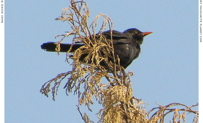 A blackbird in a tree in Ephesus, Turkey at The Cheshire Cat Blog