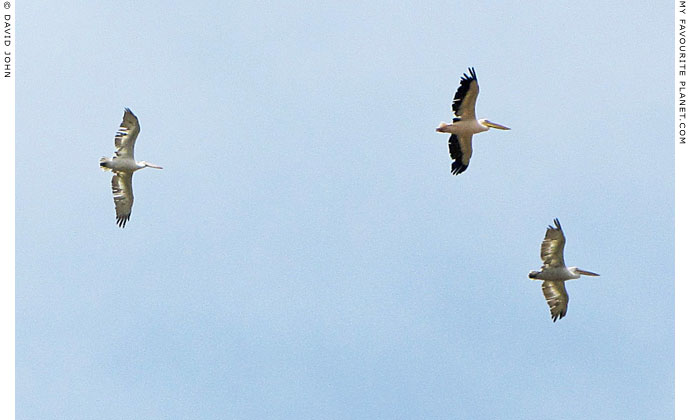 Pelicans flying over Miletos, Turkey at The Cheshire Cat Blog