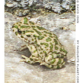 A green toad sits in the theatre of Miletos, Turkey
