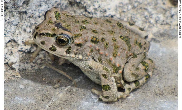 A green toad (Bufo viridis) in the theatre of Miletos, Turkey at The Cheshire Cat Blog