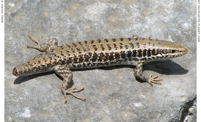 A snake-eyed lizard with no tail in Priene, Turkey at The Cheshire Cat Blog