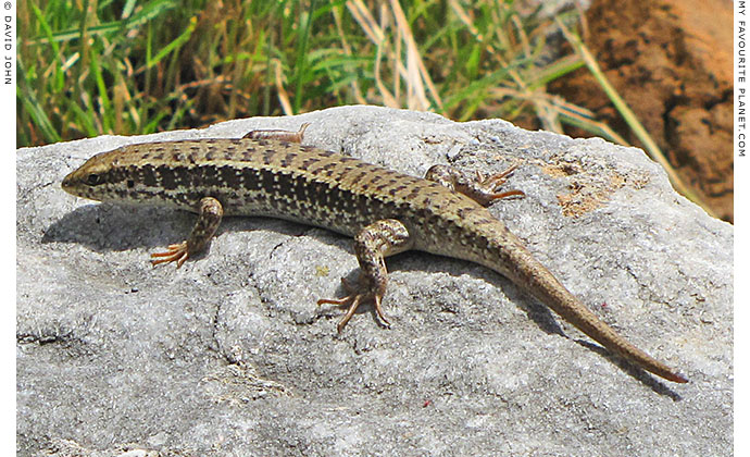 Snake-eyed lizard (Ophisops elegans) in the Upper Gymnasium, Priene, Turkey at The Cheshire Cat Blog