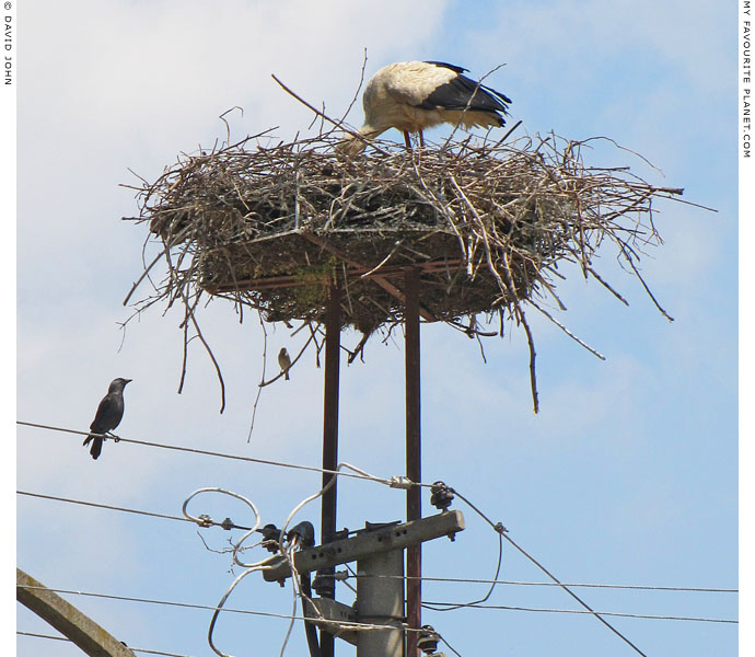White stork cleaning its nest near the Ephesus Museum, Selcuk, Turkey at The Cheshire Cat Blog